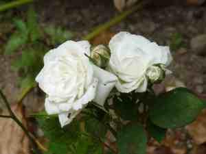Kit's roses detail